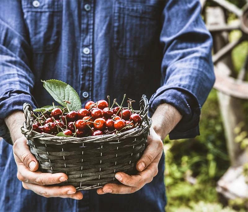 producteurs qui tient un panier de cerises dans les mains